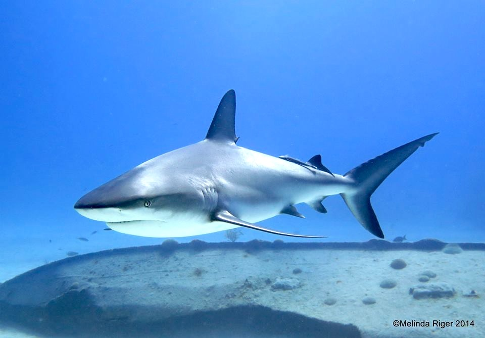 Shark ©Melinda Riger @ GB Scuba copy 2