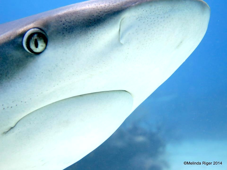 Shark close-up ©Melinda Riger @ G B Scuba copy