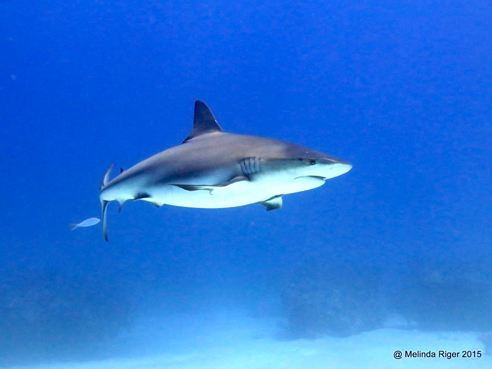 Shark (pregant female) ©Melinda Riger @G B Scuba copy