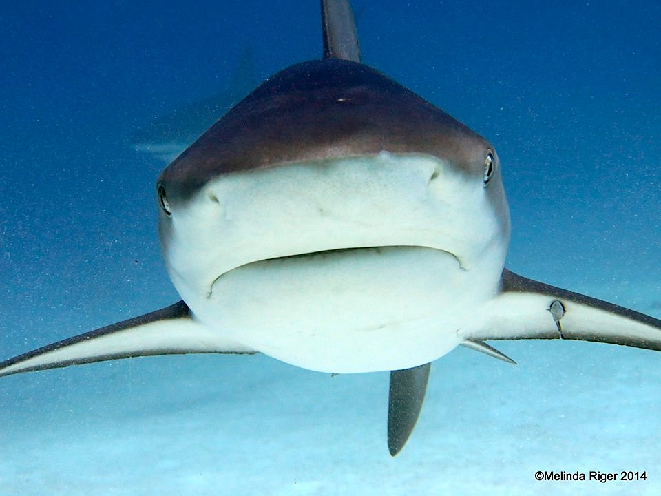 Shark with remora ©Melinda Riger @ G B Scuba copy