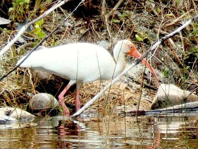 White Ibis, Treasure Cay, Abaco (Kasia Reid)