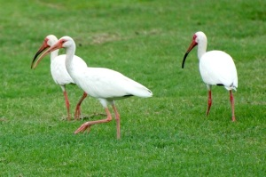 White Ibises, Bahamas (Woody Bracey)