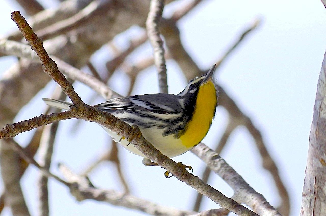 Yellow-throated warbler, Abaco  (Keith Salvesen)