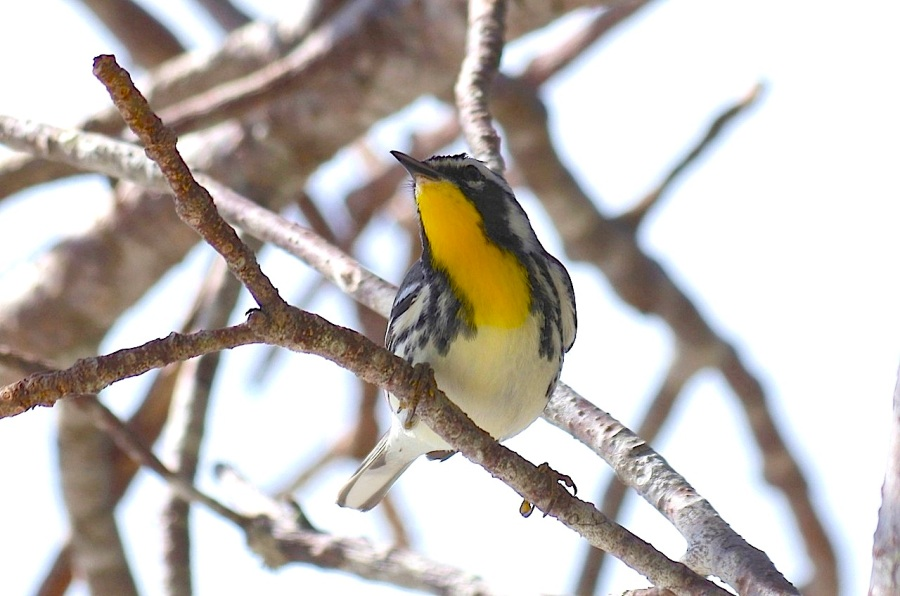 Yellow-throated warbler, Abaco  (Keith Salvesen)
