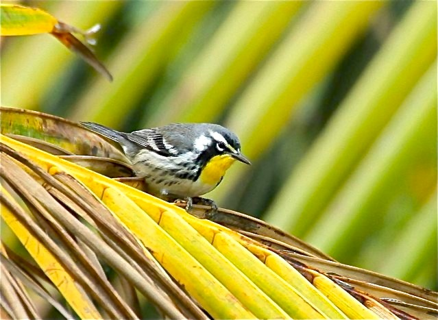 Yellow-throated Warbler, Abaco (Bruce Hallett) 2