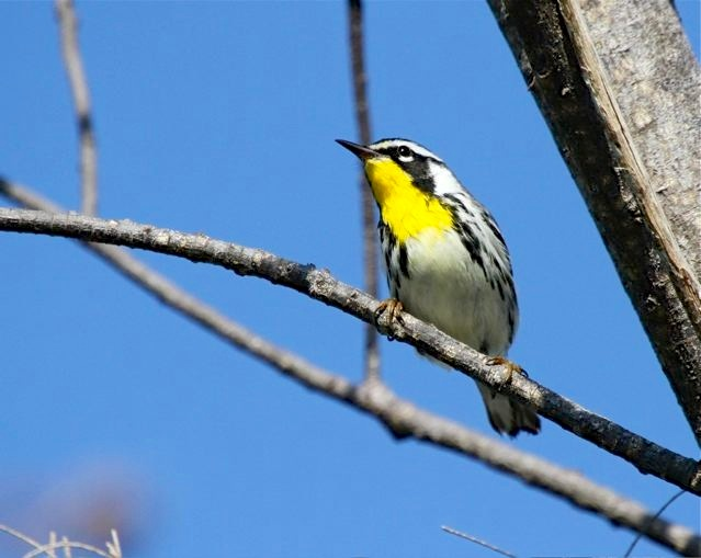 Yellow-throated Warbler, Abaco (Bruce Hallett)