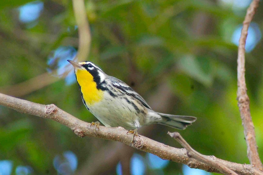 Yellow-throated Warbler, Abaco (Becky Marvil)