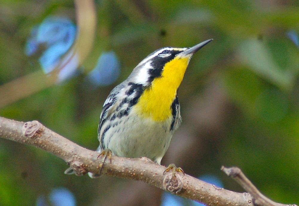 Yellow-throated Warbler, Abaco Bahamas (Becky Marvil)