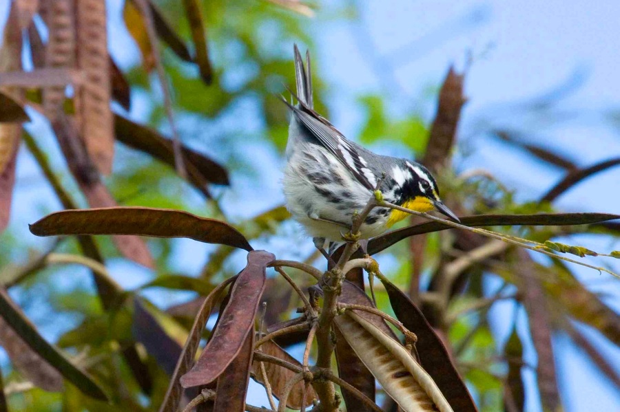 Yellow-throated warbler, Abaco (Erik Gauger)