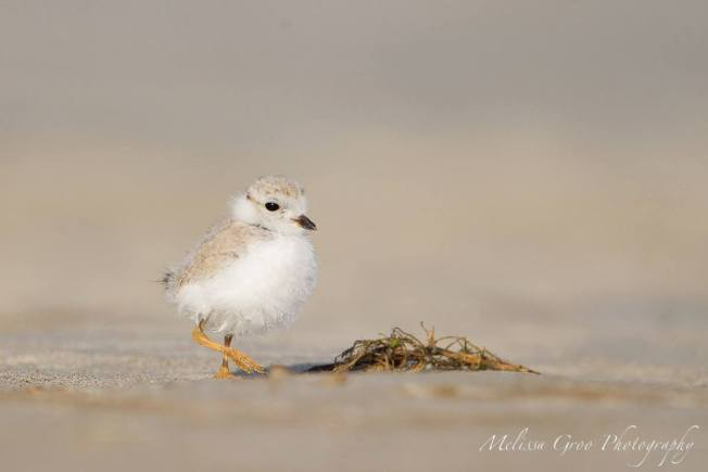 Piping Plover Chick ©Melissa Groo Photography