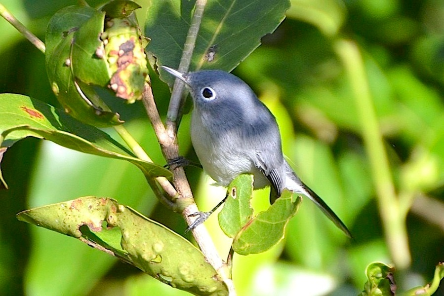 Blue-gray Gnatcatcher, Abaco (Charles Skinner)