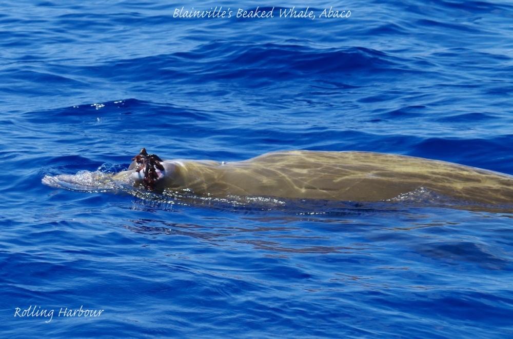 Blainville's Beaked Whale KS 1