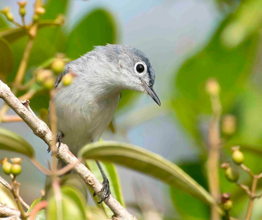 Blue-gray Gnatcatcher, Abaco Bahamas (Tom Sheley) c