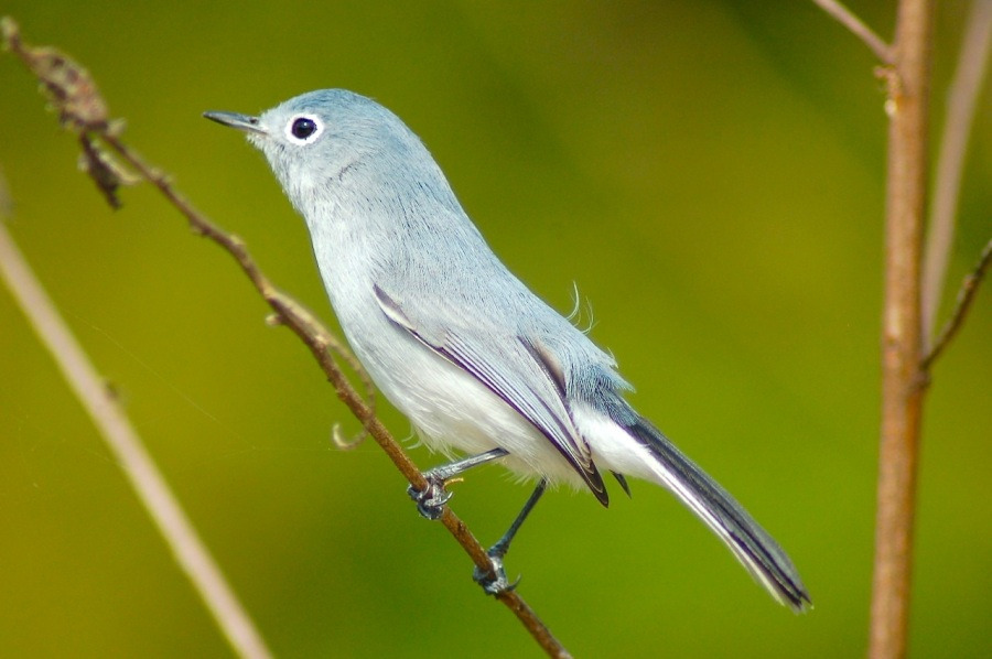 Blue-gray Gnatcatcher, Treasure Cay Abaco (Becky Marvil)