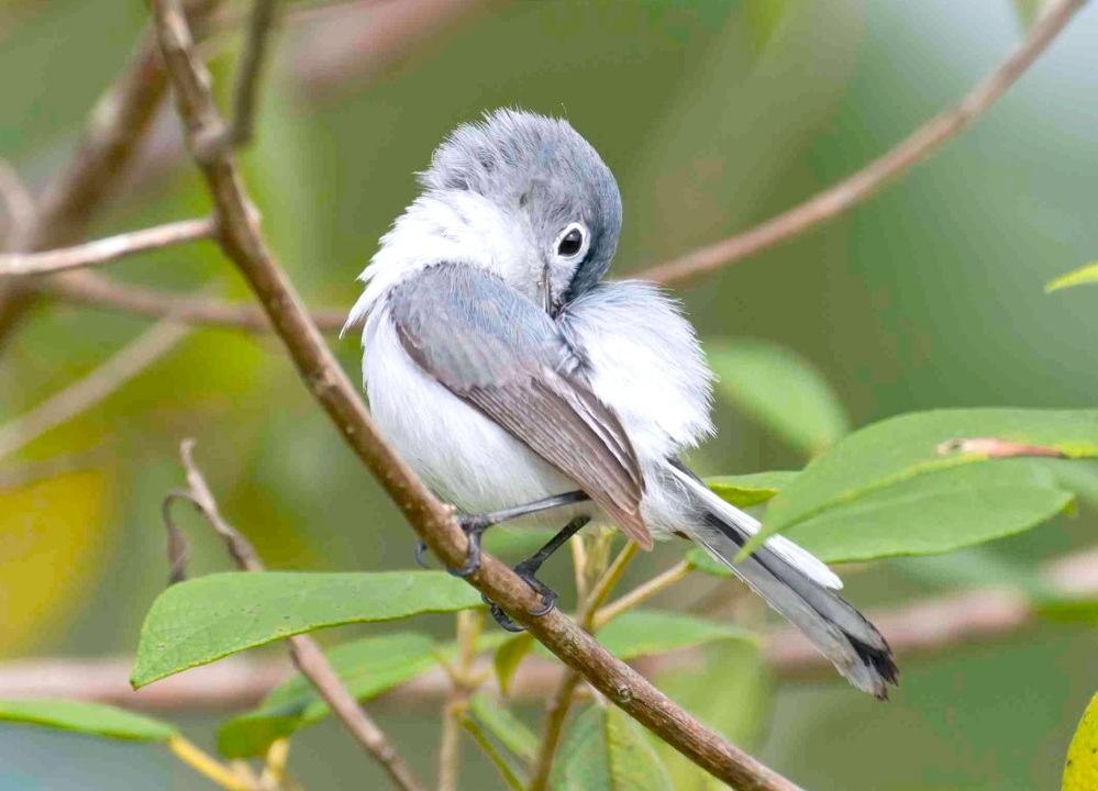 Blue-gray Gnatcatcher preening, Abaco Bahamas (Tom Sheley) b