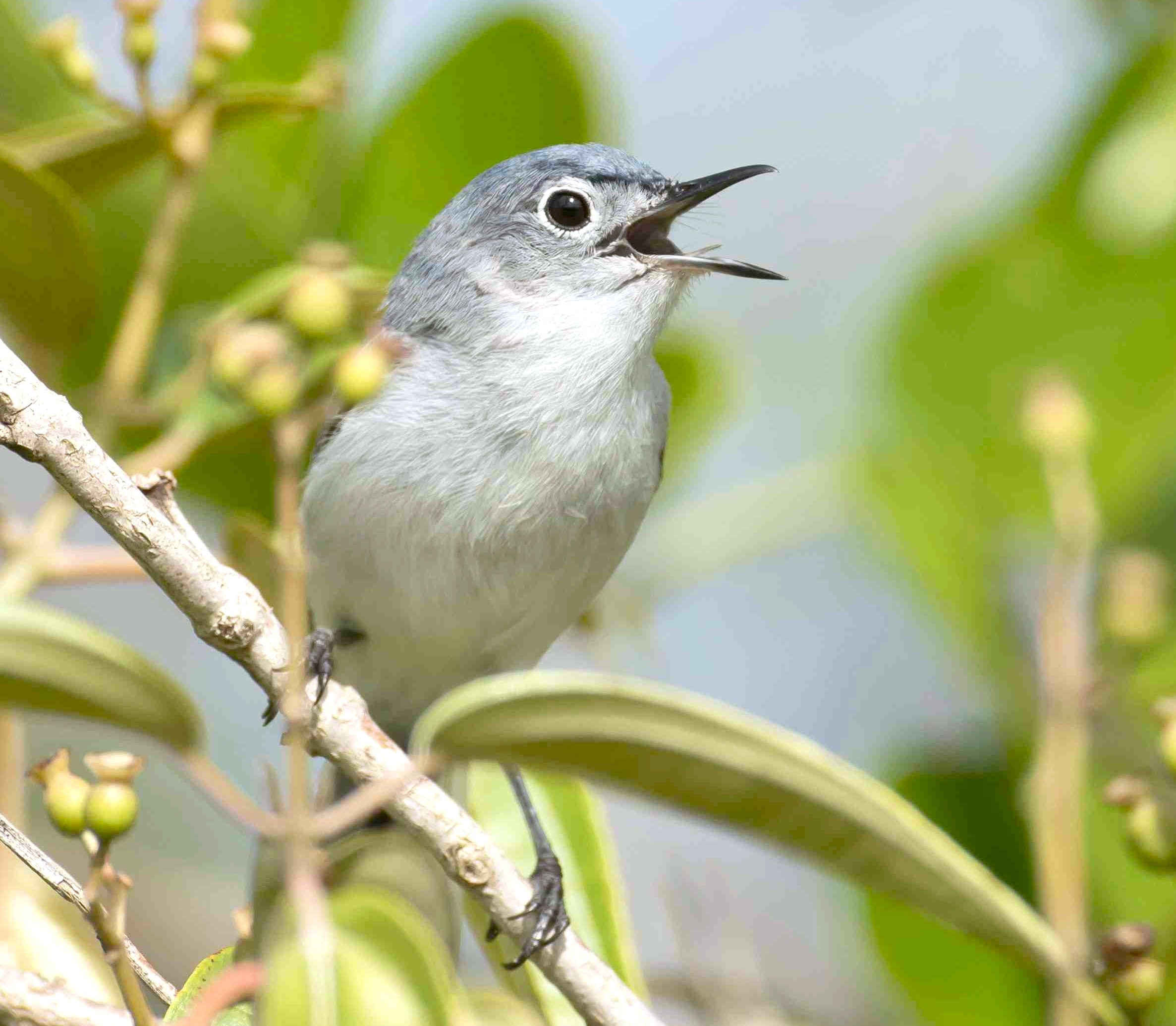 Blue-gray Gnatcatcher vocalizing.Abaco Bahamas.6.13.Tom Sheley a