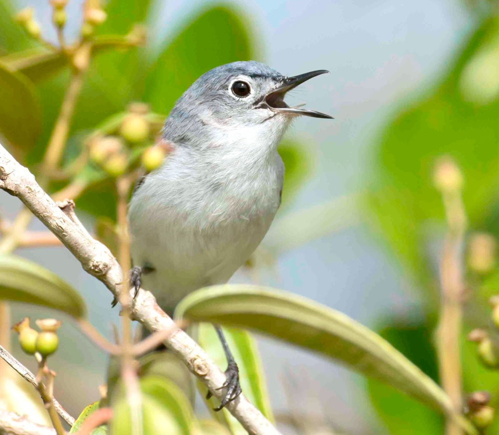 Blue-gray Gnatcatcher vocalizing. Abaco Bahamas (Tom Sheley)