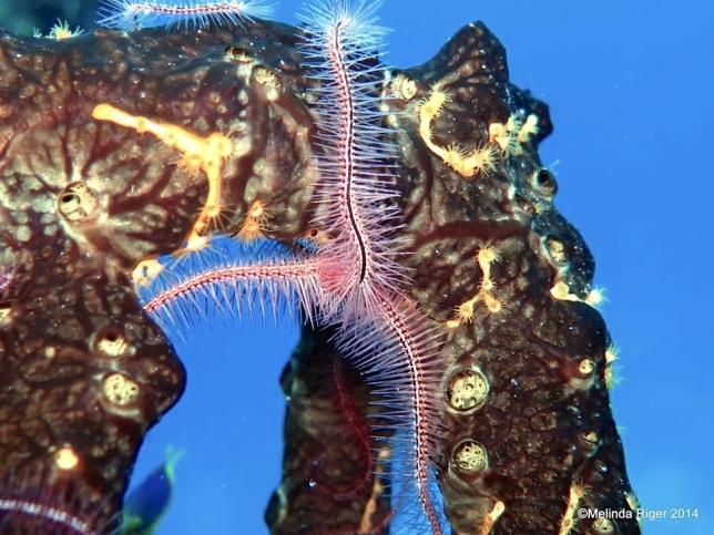 Brittle Star on Green Rope Sponge ©Melinda Riger @ GB Scuba