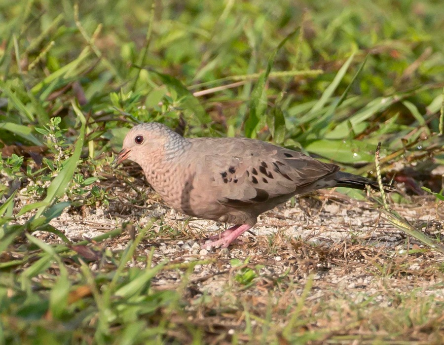 Common Ground Dove, Abaco 1 (Tom Sheley)