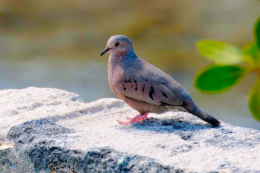 Common Ground Dove, Abaco 2 (Nina Henry)