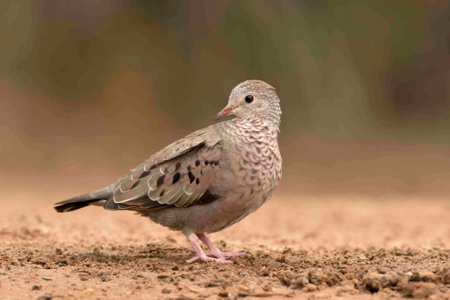 Common Ground Dove, Abaco 2 (Tom Sheley)