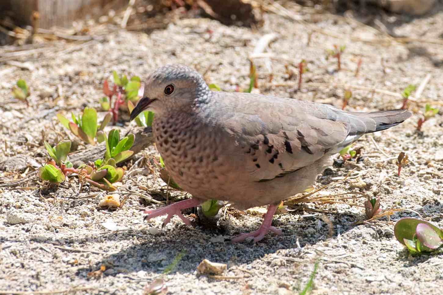 Tobacco Dove Abaco | THE BIRDS OF ABACO