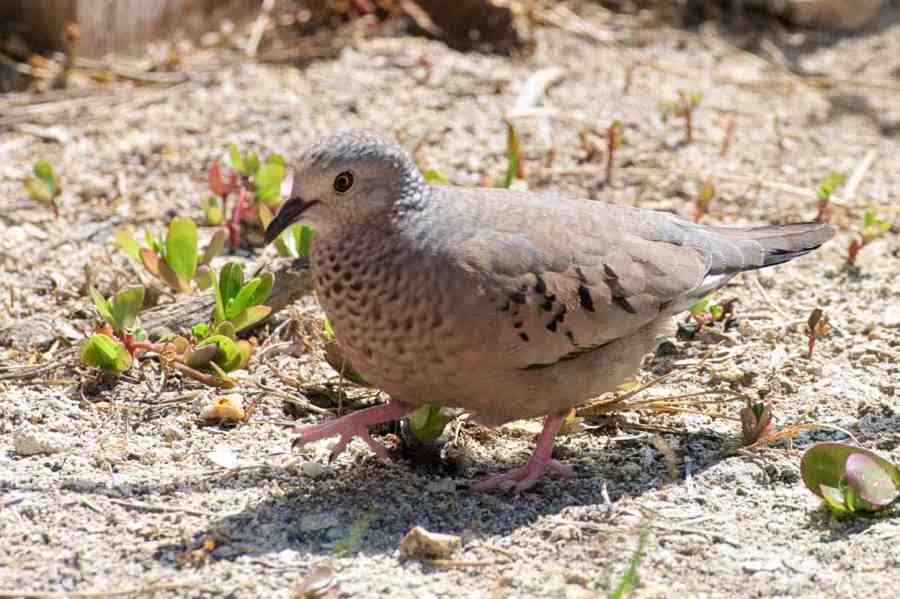 Common Ground Dove, Abaco 3 (Nina Henry)
