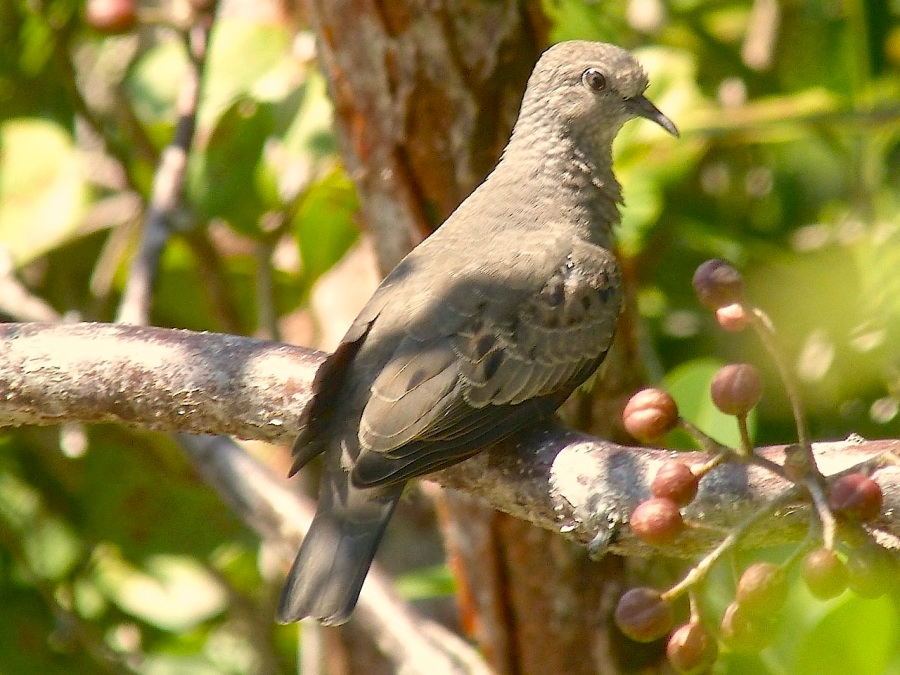 Common Ground Dove, Abaco (Keith Salvesen)