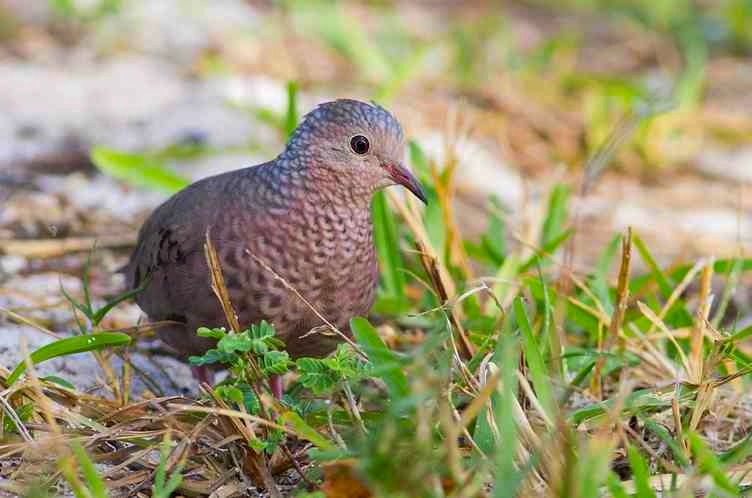 Common Ground Dove, Abaco (Tom Reed)