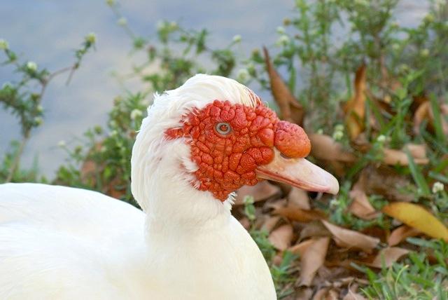 Muscovy Duck (Linda Huber)