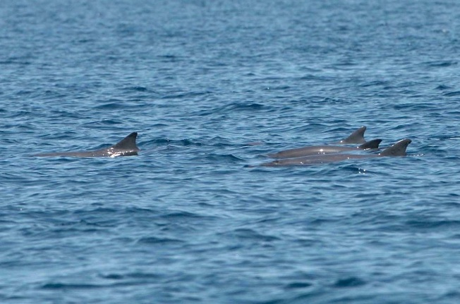 Dwarf Sperm Whales - BMMRO copy