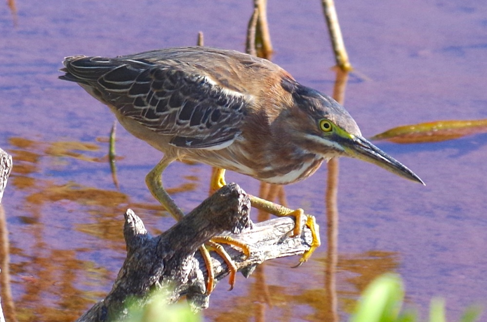 Green Heron, Gilpin Point, Abaco (Keith Salvesen)01