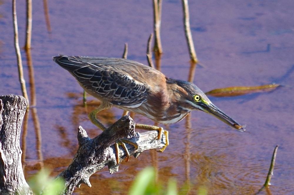 Green Heron, Gilpin Point, Abaco (Keith Salvesen)05