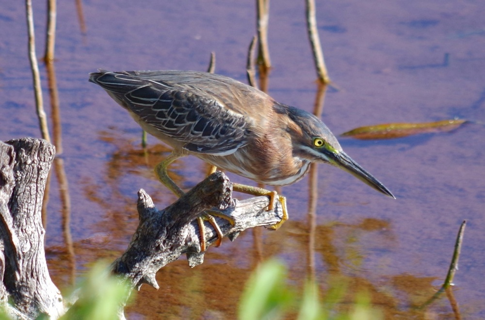 Green Heron, Gilpin Point, Abaco (Keith Salvesen)06