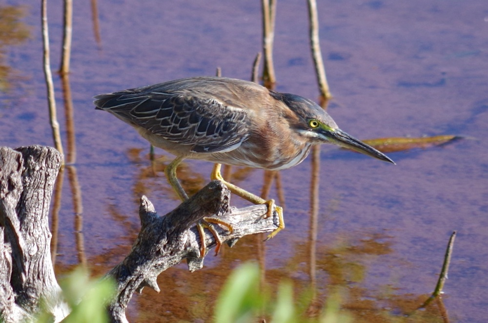 Green Heron, Gilpin Point, Abaco (Keith Salvesen)08