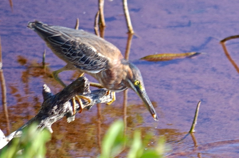 Green Heron, Gilpin Point, Abaco (Keith Salvesen)09