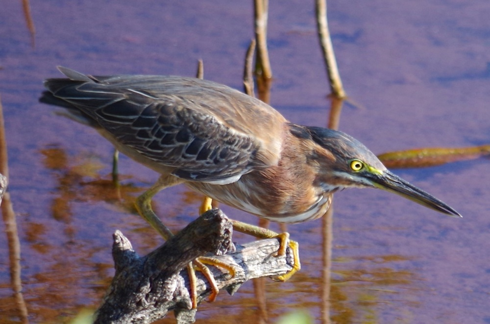 Green Heron, Gilpin Point, Abaco (Keith Salvesen)11