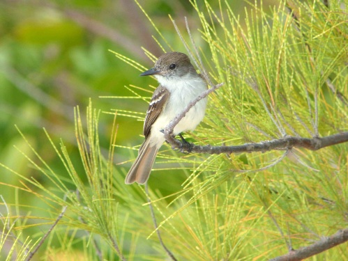 La Sagra's Flycatcher, Abaco (Keith Salvesen)