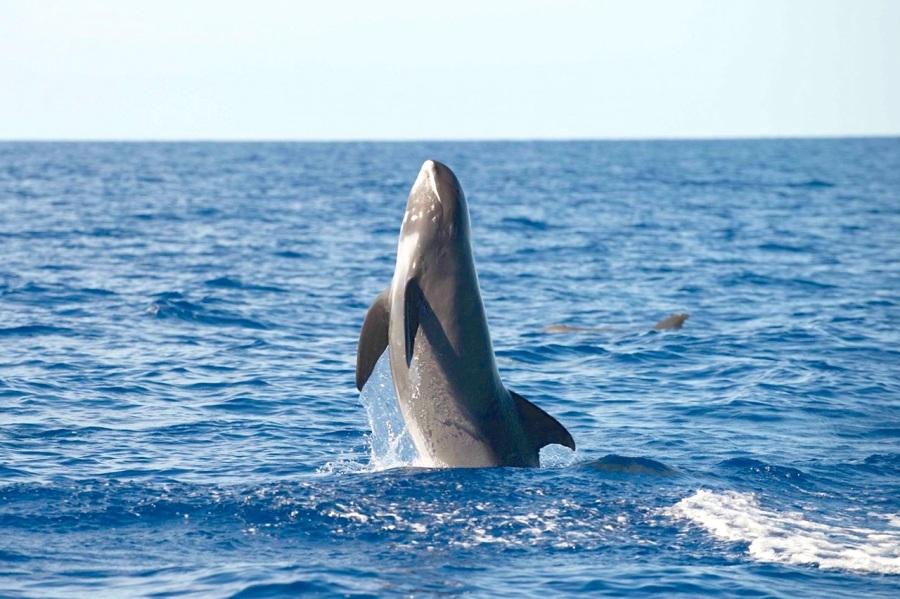 Melon-headed Whale breaching - BMMRO copy