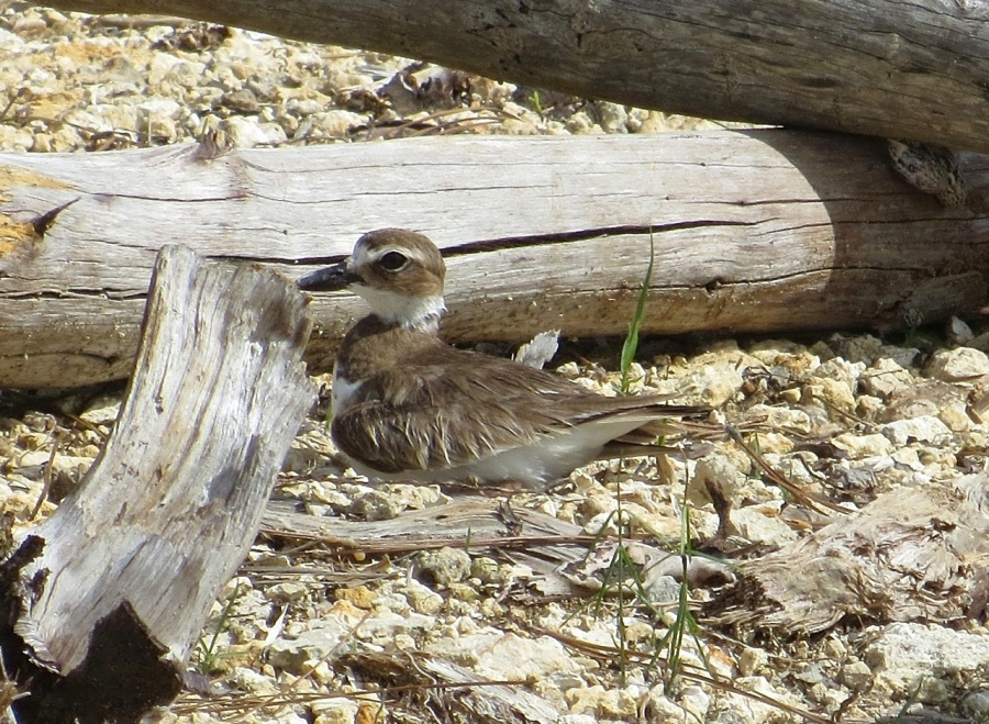 Nettie's Point, Abaco - Mrs Wilson's Plover on the nest (Keith Salvesen)