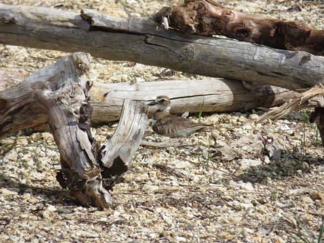Nettie's Point, Abaco - Proected Wison's Plover Nest (Keith Salvesen)