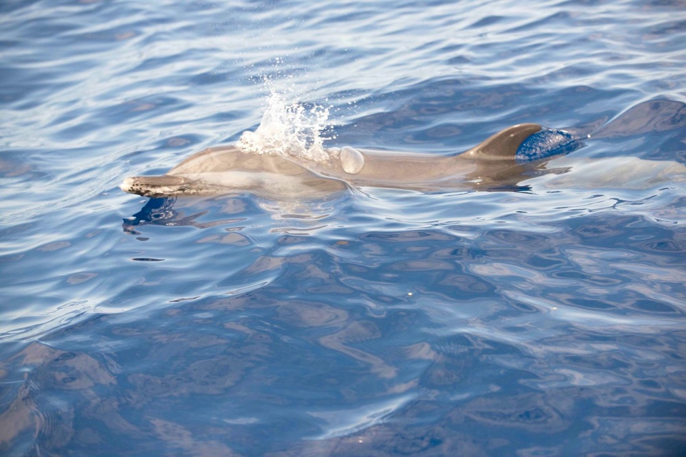 Pantropical Spotted Dolphin - BMMRO