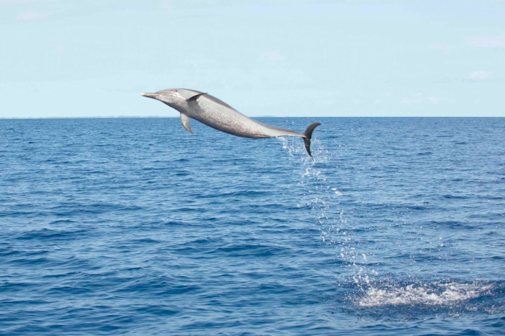Pantropical Spotted Dolphin leap - BMMRO copy