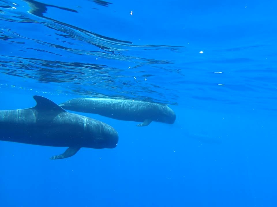 Pilot Whales 2 - BMMRO