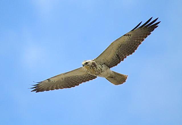 Swainson's Hawk, Abaco (Bruce Hallett)