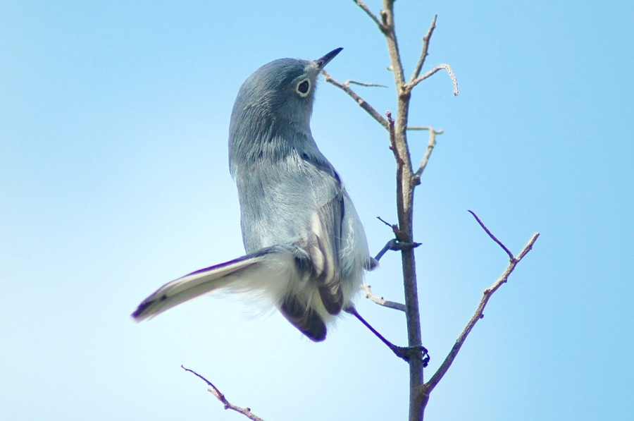Blue-Gray Gnatcatcher, Treasure Cay, Abaco (Becky Marvil)