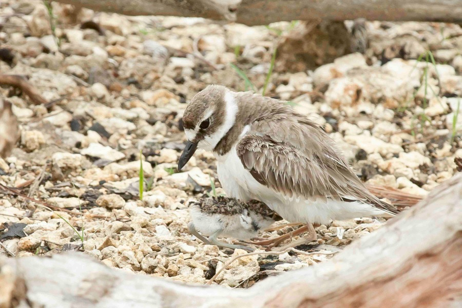 Wilson's Plover.Abaco Bahamas.Tom Sheley