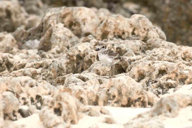Wilson's Plover chick. Delphi.Abaco Bahamas.6.13.Tom Sheley