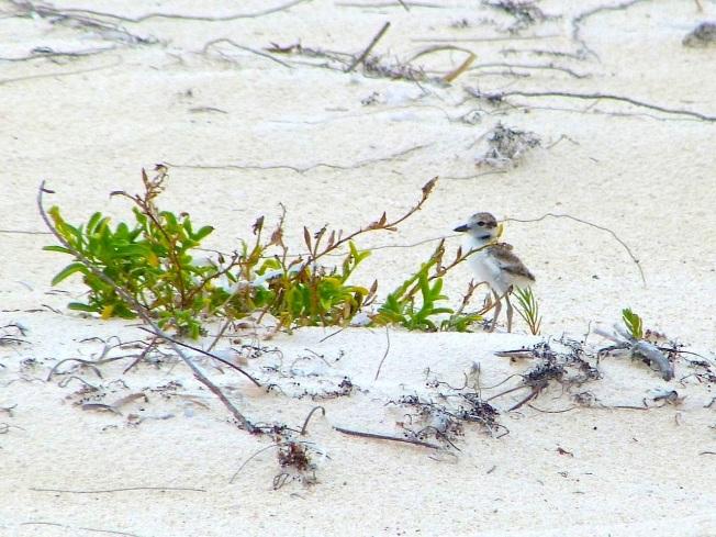 Wilson's Plover Chick, Delphi Beach, Abaco (Keith Salvesen)