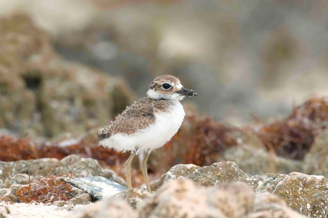 Wilson's Plover chick.Delphi Club.Abaco Bahamas.Tom Sheley JPG copy